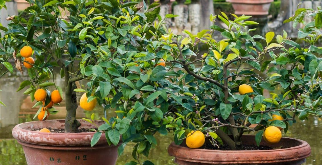 7 Perfect Patio Fruit Trees For Small Spaces Home Garden And