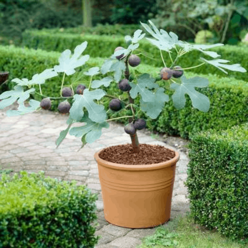 7 Perfect Patio Fruit Trees For Small Spaces Home Garden And Homestead